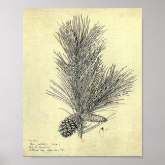 Poster de la rama del pino del vintage
