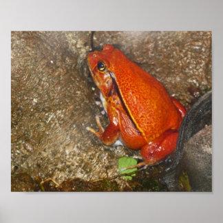 Poster de la rana del rojo anaranjado