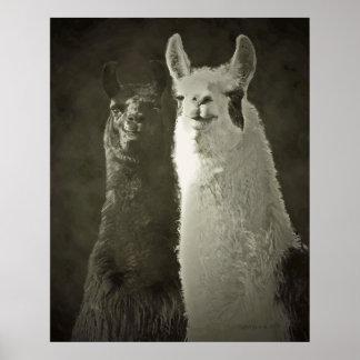poster de las alpacas