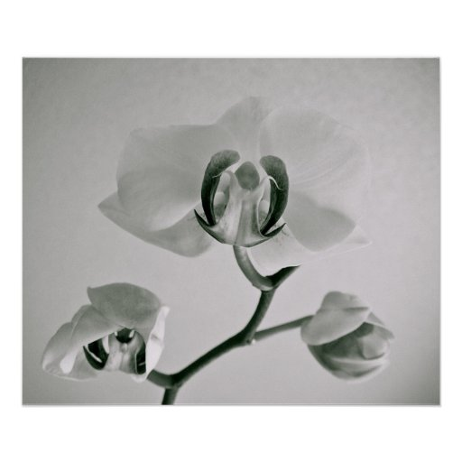 Poster de las orquídeas {b&w} el |
