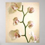 Poster de las orquídeas el |
