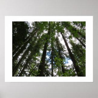 Poster de los árboles de arce y de los abetos de d