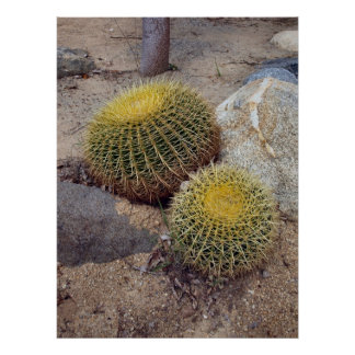 Poster de los cactus de barril de oro