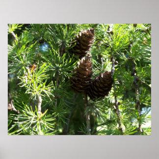 Poster de los conos del pino