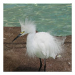 Poster de los Egrets nevados