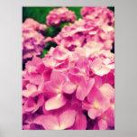 Poster de los Hydrangeas {rosa} el |