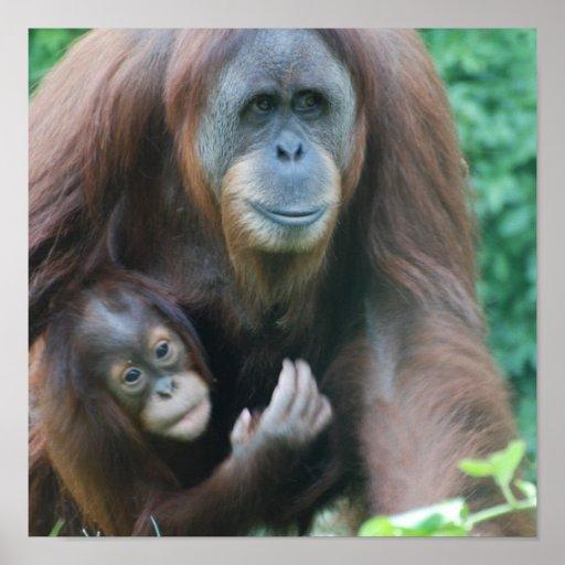 Poster de los orangutanes