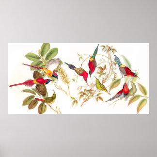 Poster de los pájaros de Gould Sunbird