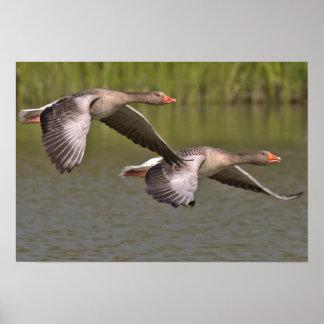 Poster de los pájaros de vuelo