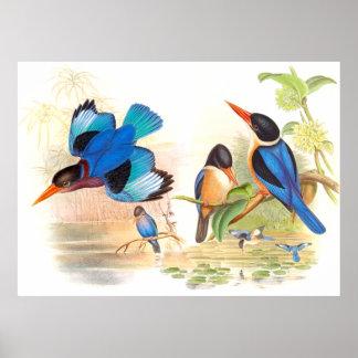 Poster de los pájaros del martín pescador de Gould Póster