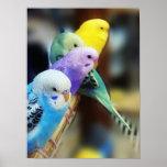 Poster de los Parakeets