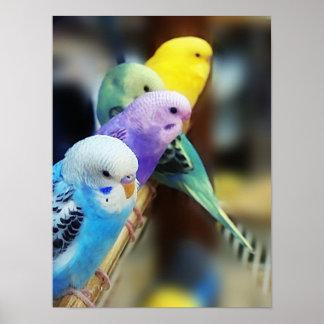 Poster de los Parakeets Póster
