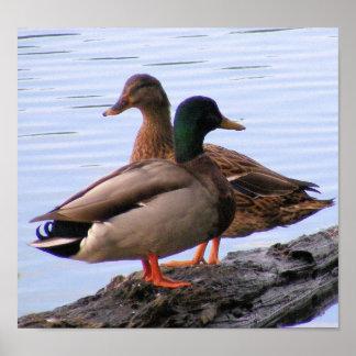 Poster de los patos silvestres