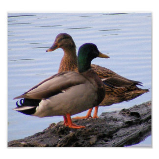 Poster de los patos silvestres póster
