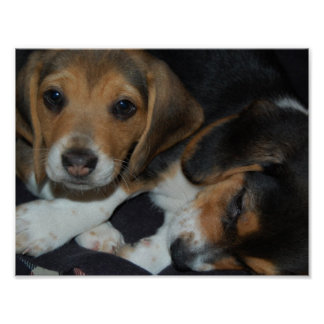Poster de los perritos del beagle