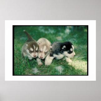 Poster de los perritos del husky siberiano