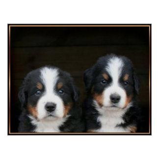 Poster de los perritos del perro de montaña de Ber
