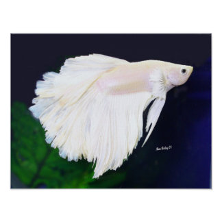 Poster de los pescados de Betta del platino