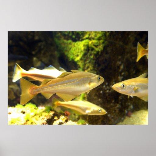 Poster de los pescados de la brema de mar atlántic