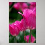 Poster de los tulipanes