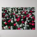 Poster de los tulipanes 16