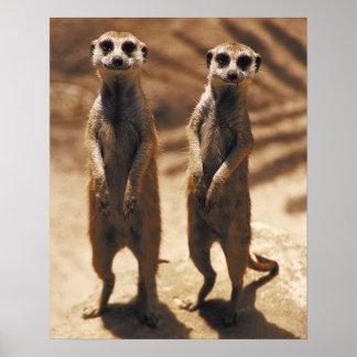 Poster de Meerkat
