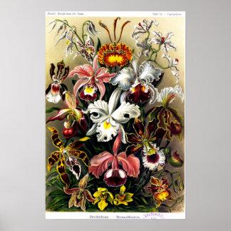Poster de Orchideae (orquídeas)