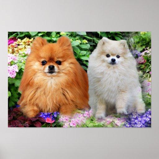 Poster de Pomeranian