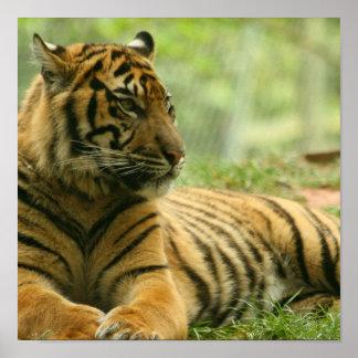 Poster de reclinación del tigre