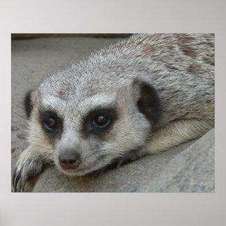 Poster de relajación de Meerkat