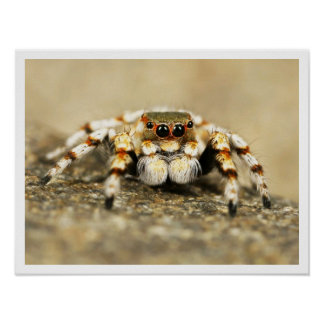 Poster de salto adorable del primer de la araña