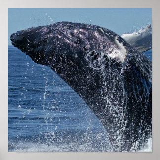 Poster de salto de la ballena jorobada