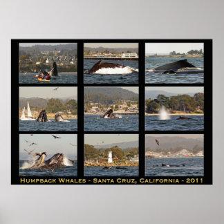 Poster de Santa Cruz de las ballenas jorobadas