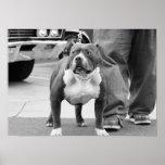 Poster de Staffordshire Terrier americano
