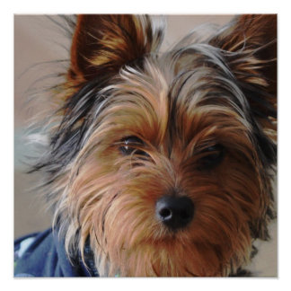 Poster de Yorkie Terrier