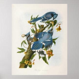 Poster del arrendajo azul
