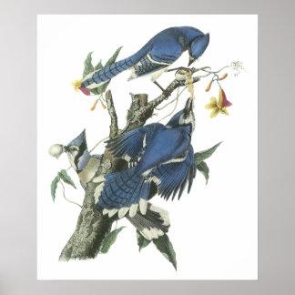 Poster del arrendajo azul de Audubon