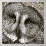 Poster del búho de gran gris
