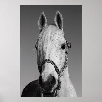 Poster del caballo blanco, impresión