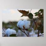 Poster del campo del algodón