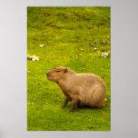 Poster del Capybara