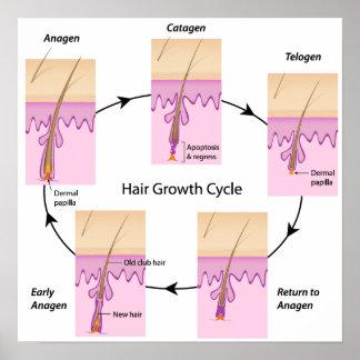 Poster del ciclo de crecimiento del pelo