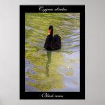 Poster del cisne negro