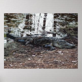 Poster del cocodrilo americano