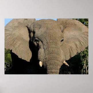 Poster del elefante de Bull