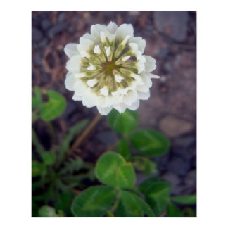 Poster del flor 1 del trébol blanco