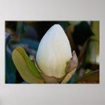 Poster del flor del huevo de la magnolia meridiona