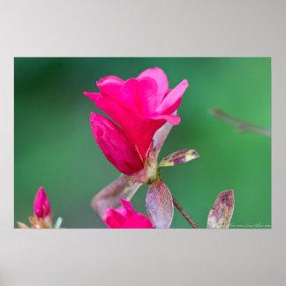 Poster del flor del membrillo floreciente de las r
