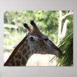 Poster del forraje de la jirafa