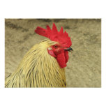 Poster del gallo